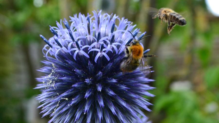 Distel_Bienen_Bees